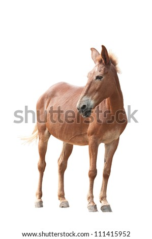 Brown Donkey on White Background
