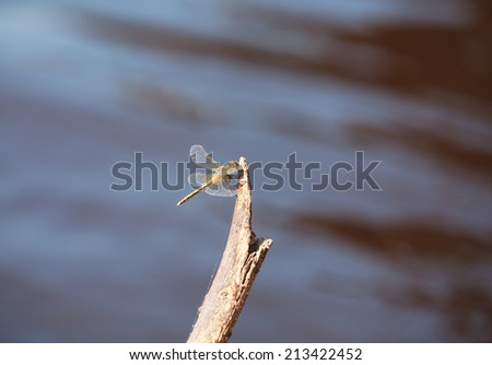 Brown dragonfly (Aeschna grandis) sitting on an old tree, minimalism, selective focus and place for text - stock photo
