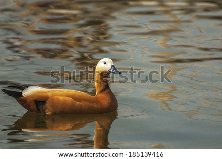 Brown duck floating in pond. - stock photo
