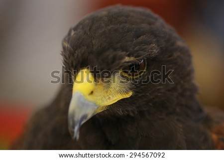 brown eagle head - stock photo