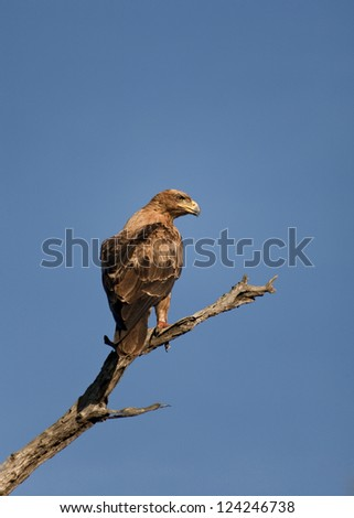 Brown eagle perched on branch