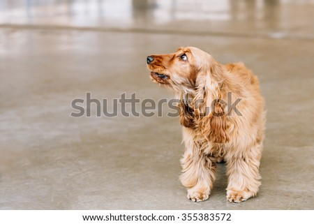 Brown English cocker spaniel Dog indoor. Small breed of domestic dog. - stock photo