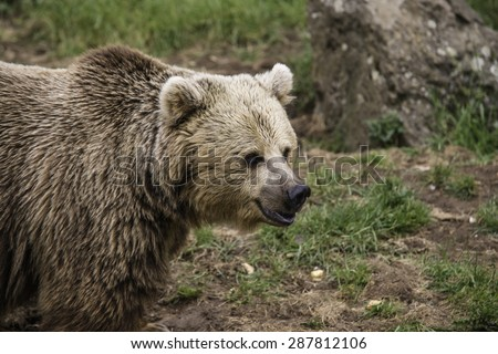 Brown European bear portrait looking his territory - stock photo