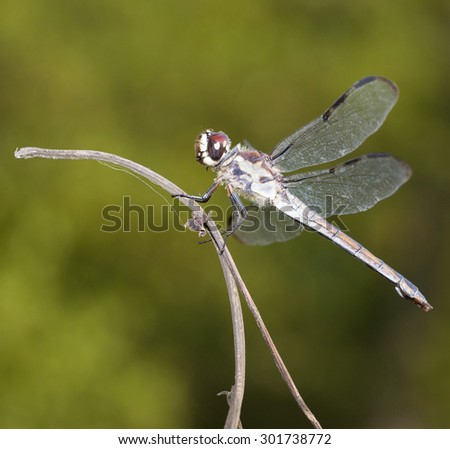 Brown eyed dragonfly on a stick with a green background - stock photo