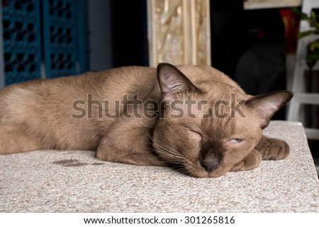 Brown fat cats cute playful. - stock photo