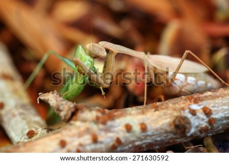 Brown female praying mantis eating a katydid with a brown leafy background and sticks - stock photo