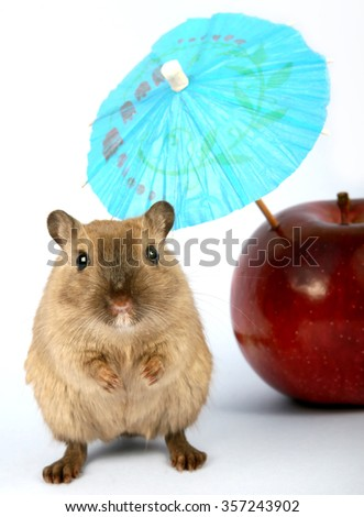 Brown female rodent on summer vacation with apple, macro close up with copy space