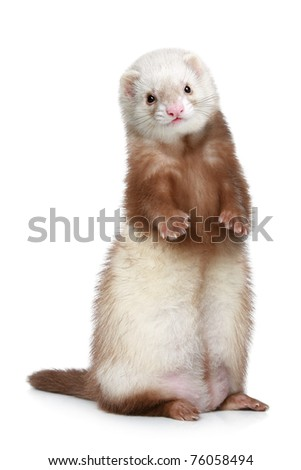 Brown Ferret standing on a white background - stock photo