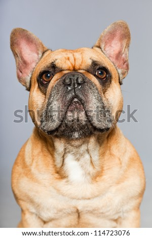 Brown french bulldog. Funny dog. Comic character. Studio shot isolated on grey background. - stock photo