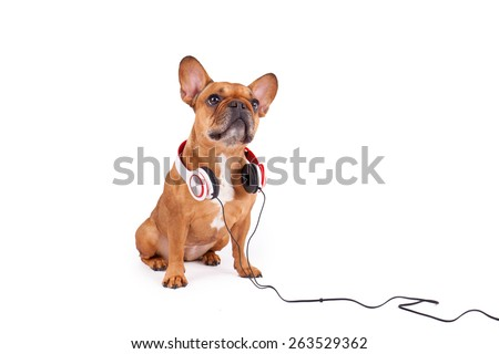 Brown French bulldog with headphone isolated on white background  - stock photo