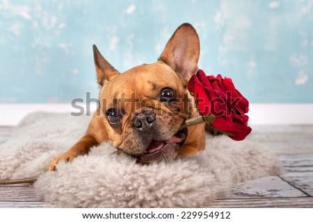 Valentine S Day Dog Rose