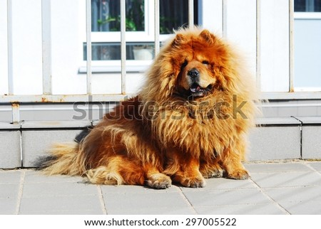 Brown friendly chow-chow dog in the  Vilnius city.