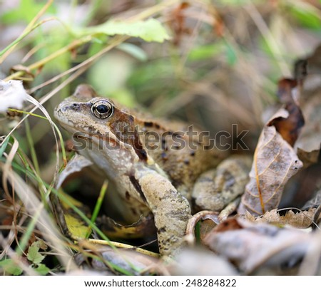 Brown frog with big eyes photographed closeup - stock photo