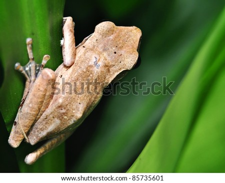 Brown frogs capture from behind ready to hunting - stock photo