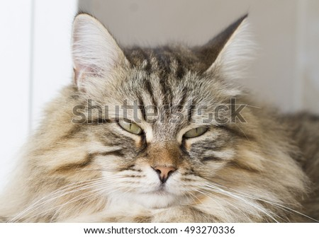 brown furry cat, siberian breed