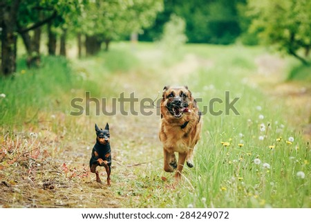 Brown German Shepherd And Miniature Pinscher Zwergpinscher Running On Green Grass In Spring Garden - stock photo