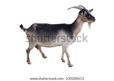 brown goat on a white background - stock photo
