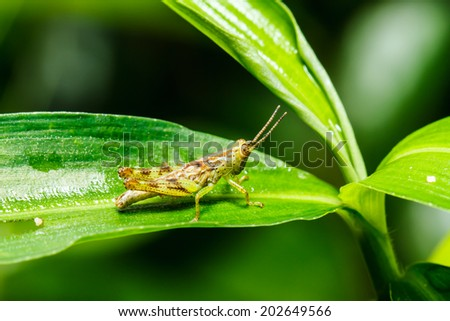 Brown Grasshopper