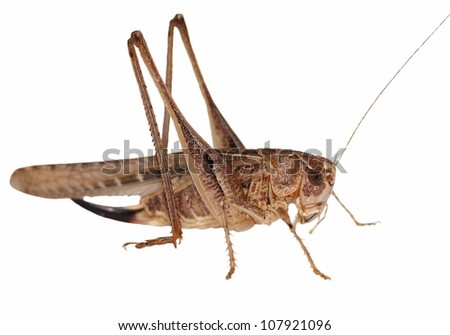 Brown Grasshopper isolated on white background - stock photo