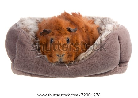 Brown Guinea Pig in a basket isolated on white - stock photo