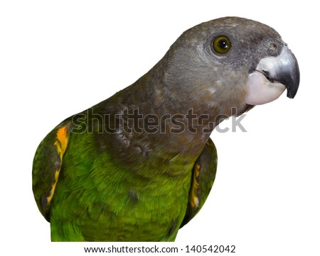 Brown Headed Parrot isolated on white background