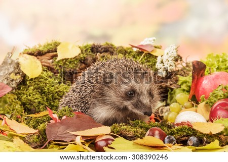 Brown Hedgehog on leaves closeup - stock photo