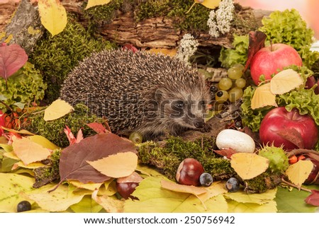 Brown Hedgehog with on leaves closeup - stock photo