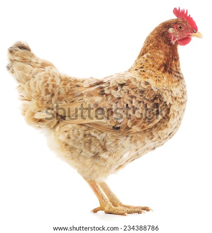 brown hen isolated on white, studio shot - stock photo