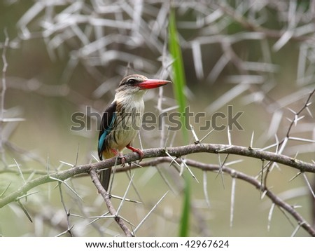 Brown-Hooded Kingfisher in its natural surroundings. - stock photo