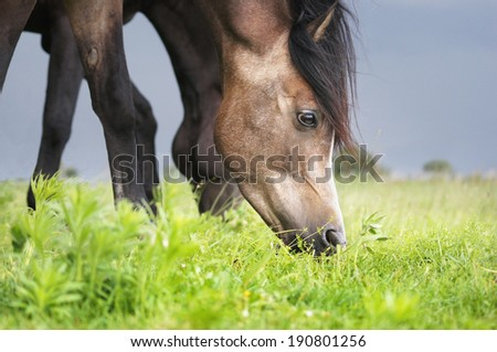 brown horse eating grass  - stock photo