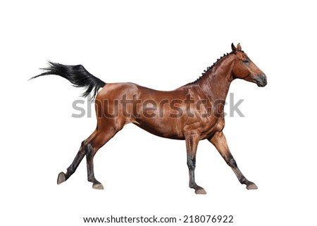Brown horse galloping isolated on white background
