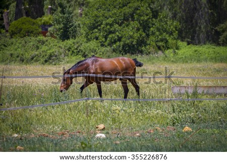 brown horse grazing in a green pasture, spanish horses - stock photo