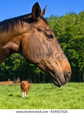 Brown horse head in profile in closeup; Economically useful animals; Riding and breeding animals