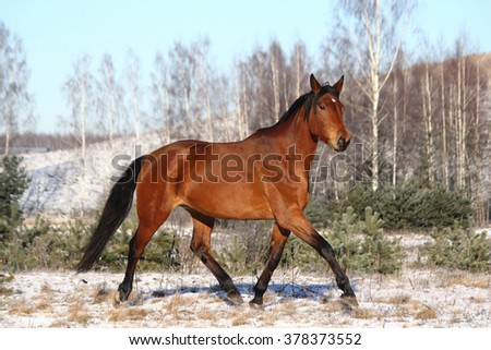 Brown horse trotting free in winter