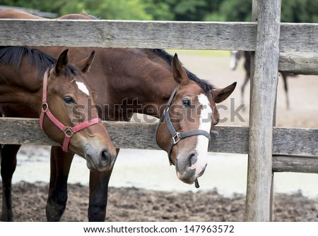 Brown horses in a stable - stock photo