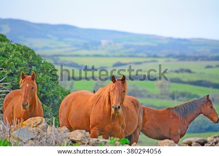 Brown horses in the countryside, Sardinia