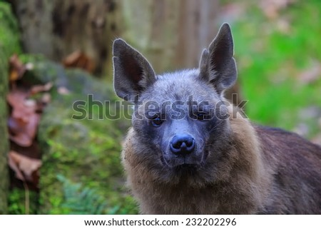 brown hyena close up - stock photo
