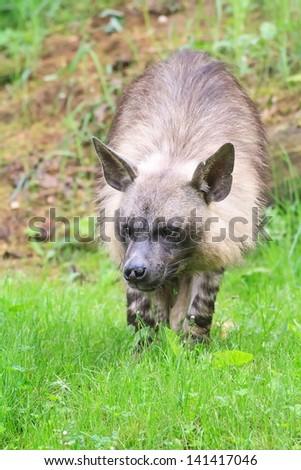 brown hyena is lurking - stock photo