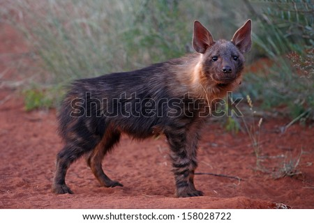 Brown hyena juvenile - stock photo