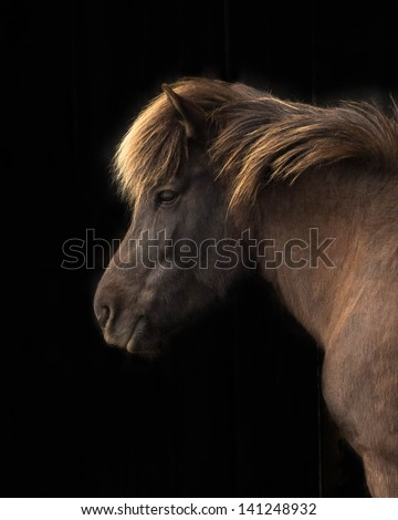 Brown Icelandic Mare Head Profile