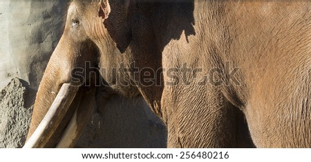 Brown Indian or Asian Elephant on a sunny day - stock photo