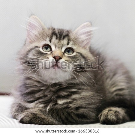 brown kitten of siberian breed at two months - stock photo