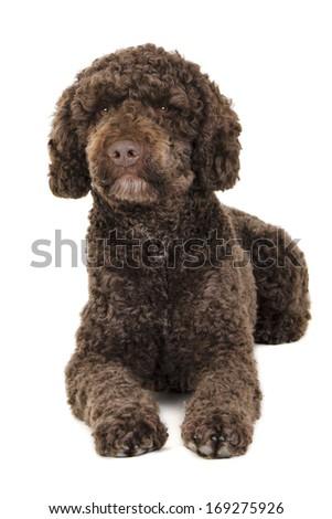 Brown labradoodle  - stock photo