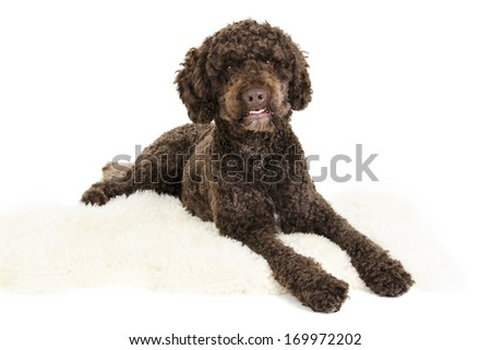 Brown labradoodle - stock photo