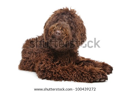 Brown Labradoodle in front of a white background - stock photo