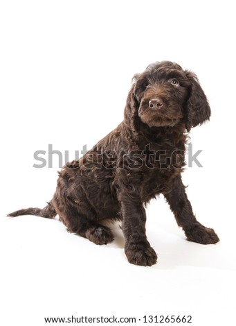 Brown labradoodle looking up with a white background