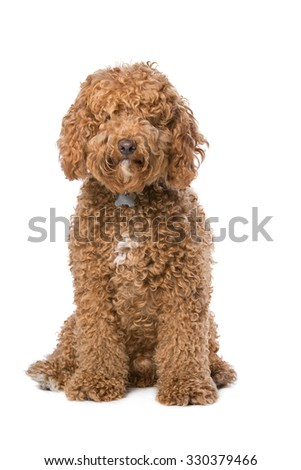 brown Labradoodle sitting in front of a white background