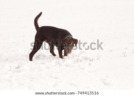 brown labrador in the snow