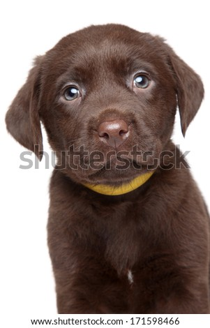 Brown Labrador puppy. Close-up portrait on white background - stock photo