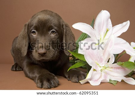 Brown labrador puppy with white lily - stock photo